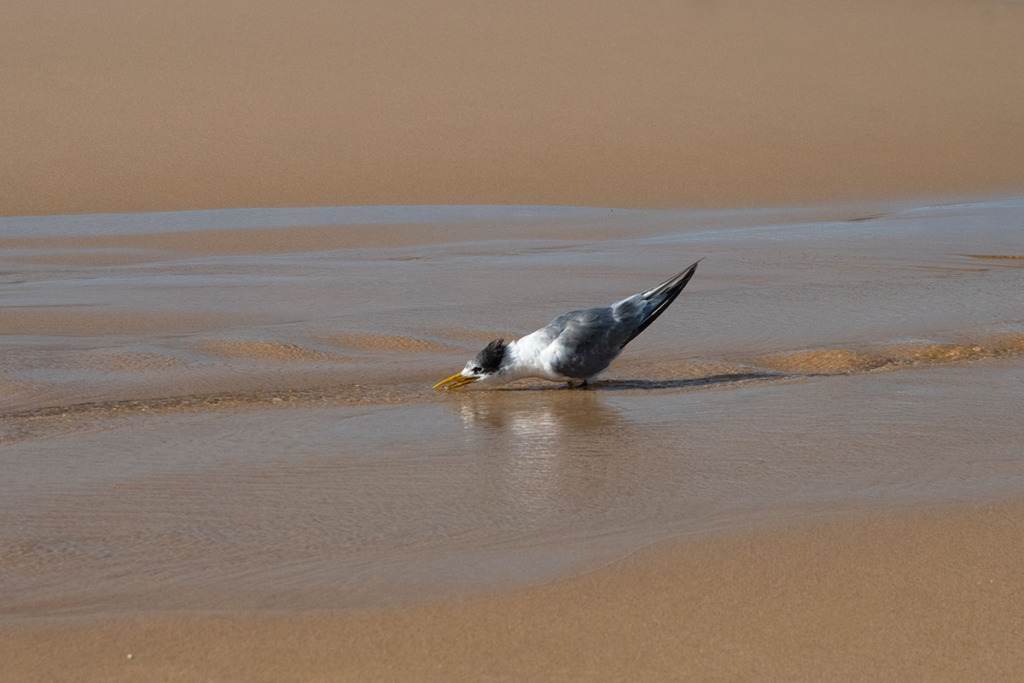 Crested tern on Garie beach