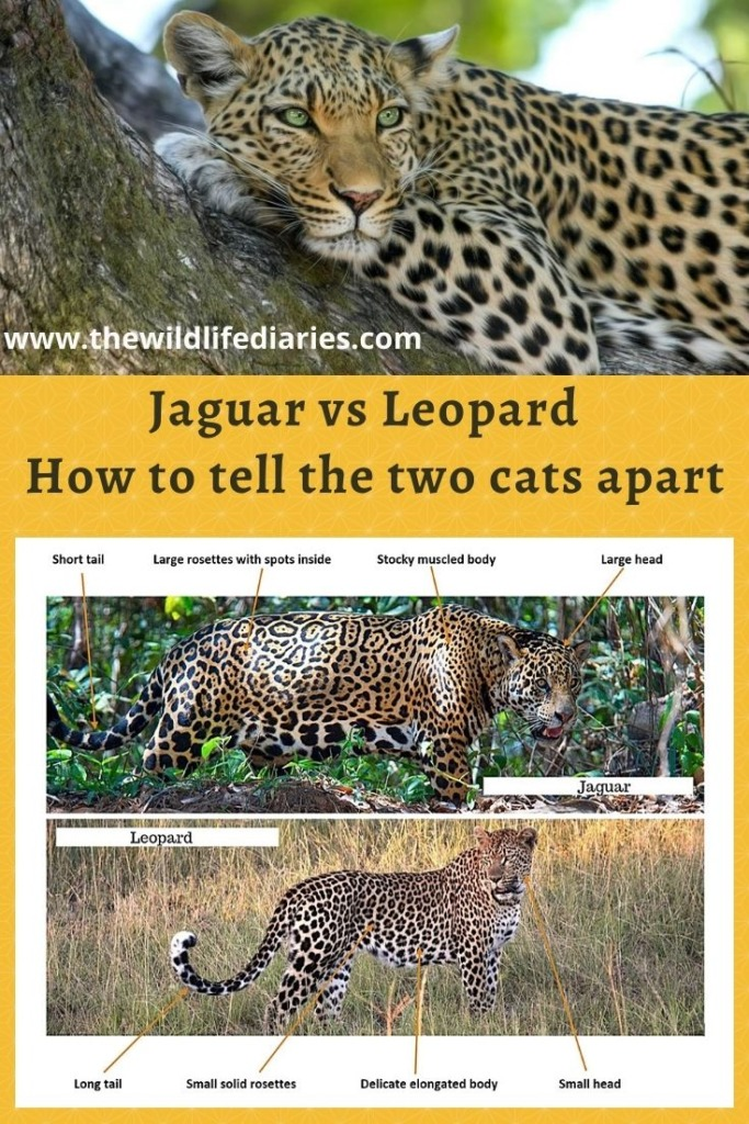 jaguar vs leopard and how to tell a different between jaguar and leopard