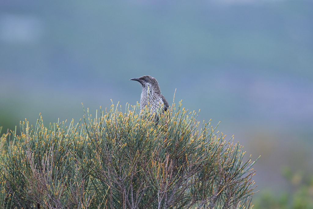 Little wattlebird at Royal National Park