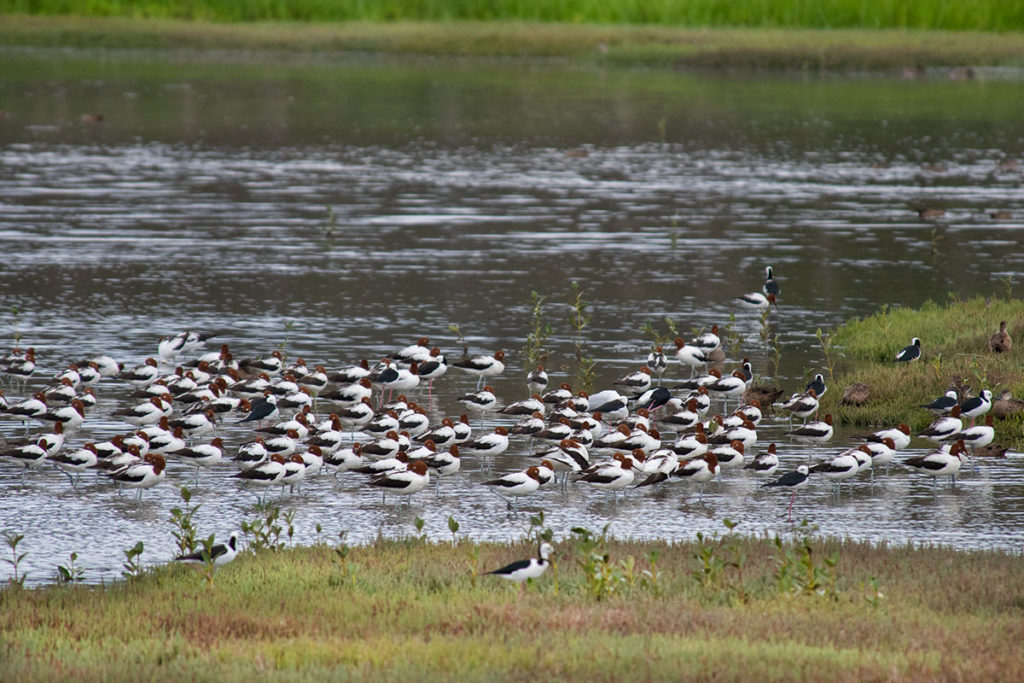 Red-necked avocets at Sydney Olympic Park