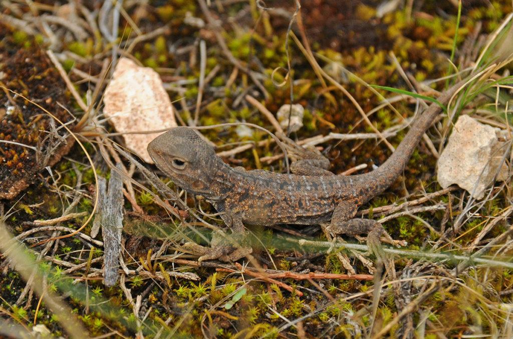 Reptiles of Eyre peninsula - Bicycle lizard