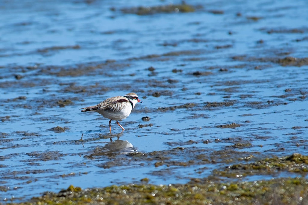 Black-fronted dottorel at Sydney Olympic Park