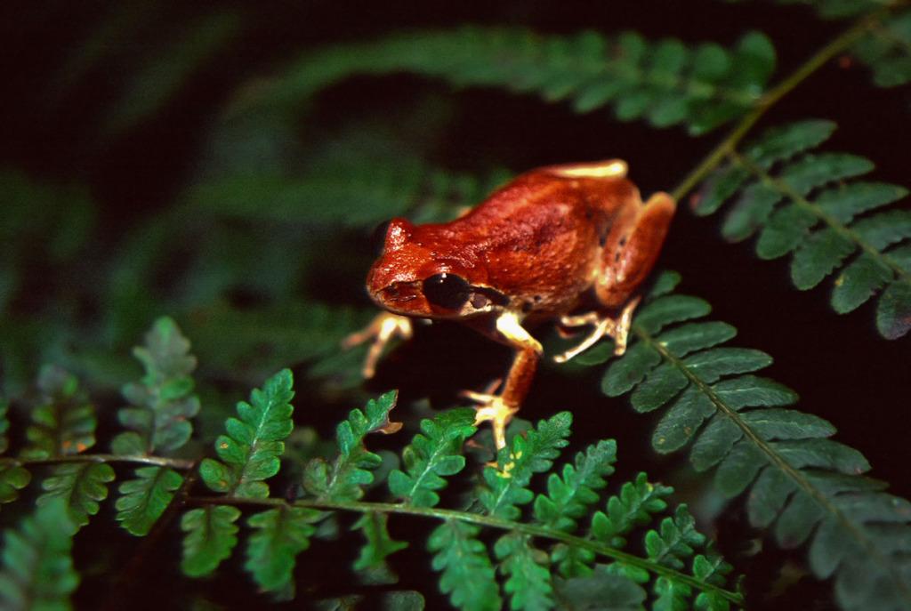 Bleating tree frog in the Watagans
