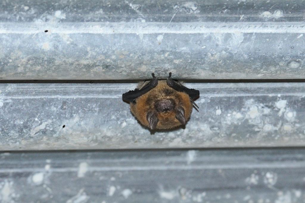 Wildlife of uluru - Broad-nosed bat