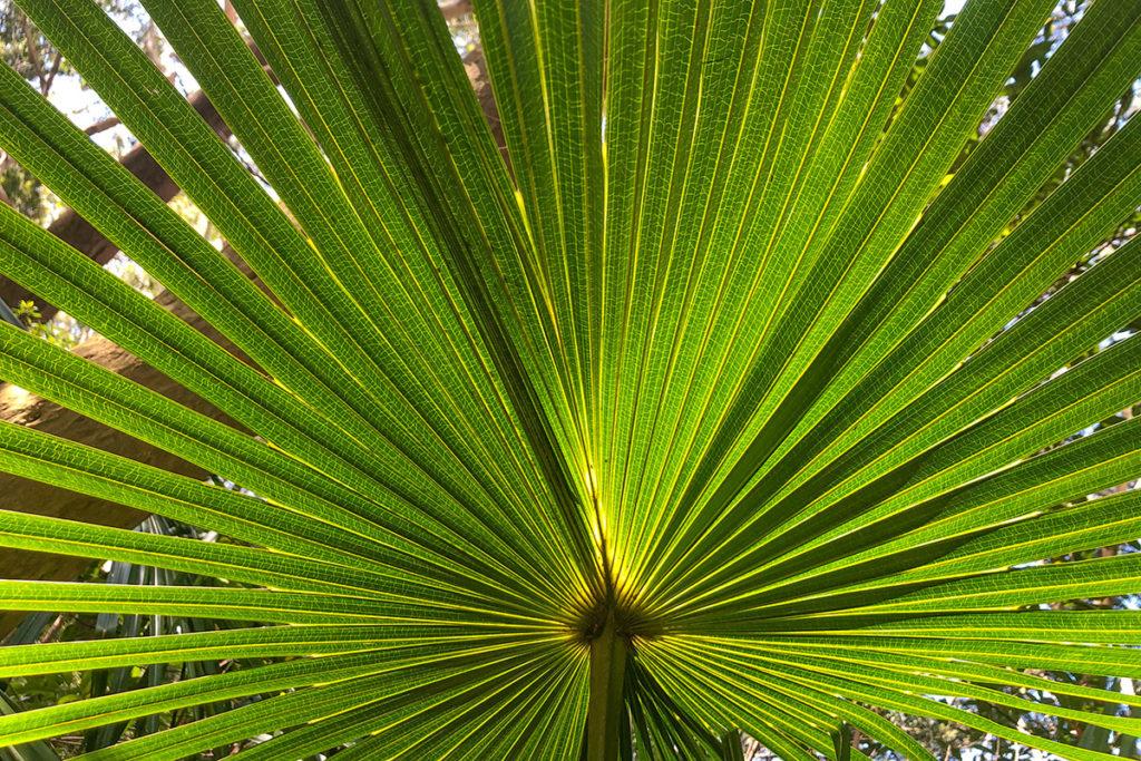 Cabbage tree palm