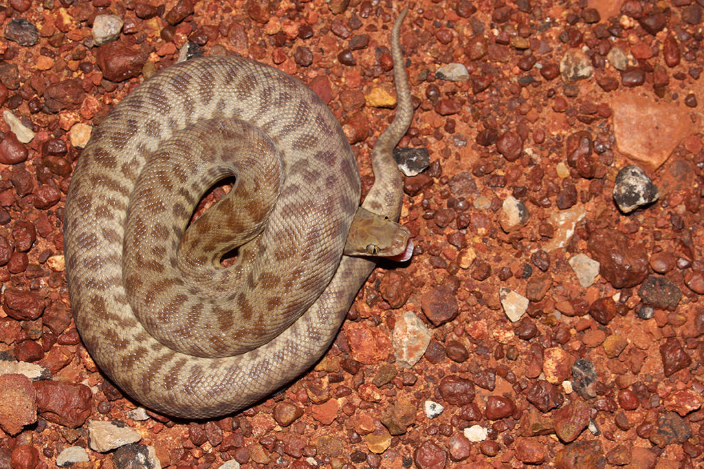 Childrens python in Kakadu National Park