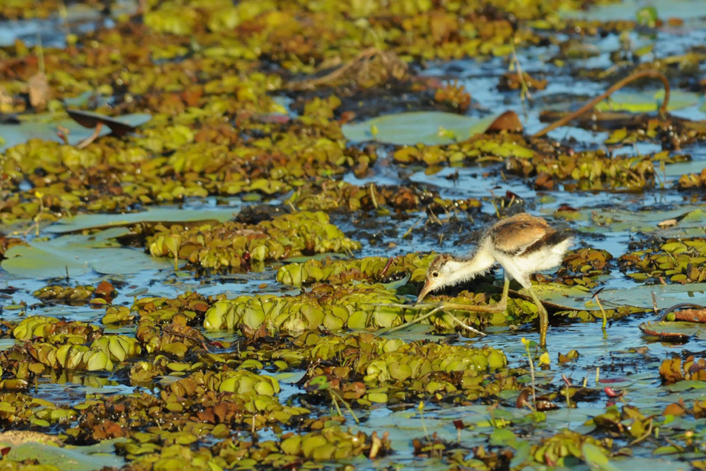 Comb-crested jacana chick