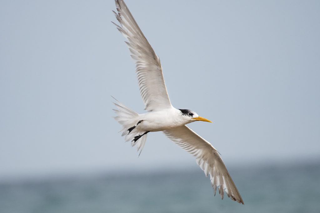 Crested tern at Marley beach