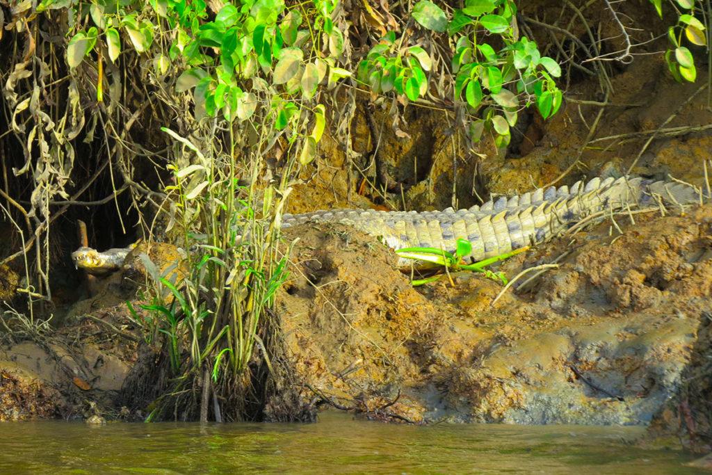 Crocodile in Drake Bay
