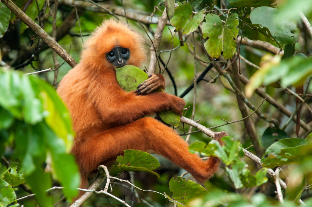 Maroon langur in Danum Valley