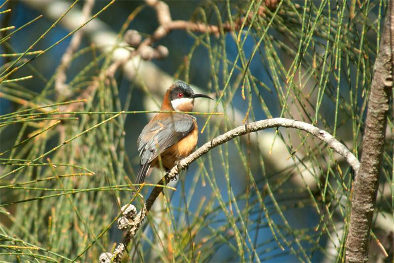 Birds of Watagans - Eastern Spinebill