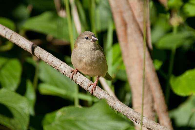 Red-brown finch