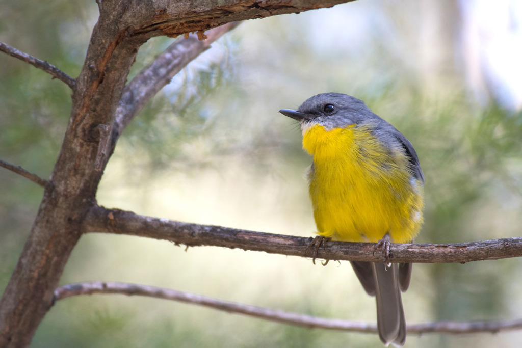 Eastern Yellow robin at Leura Cascades