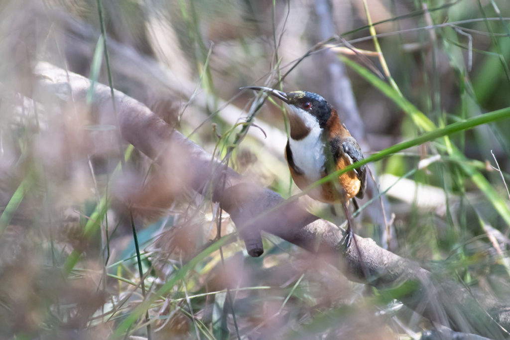 Eastern spinebill on Palm Jungle loop track
