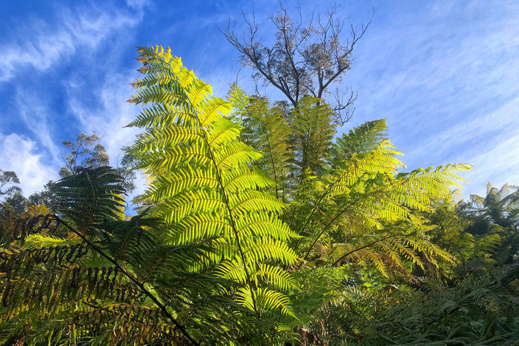 Fern in the Blue Mountains