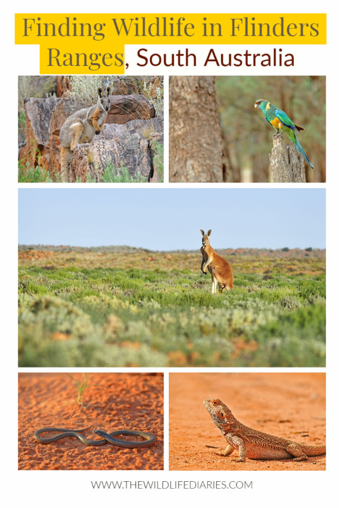 Finding wildlife in Flinders Ranges