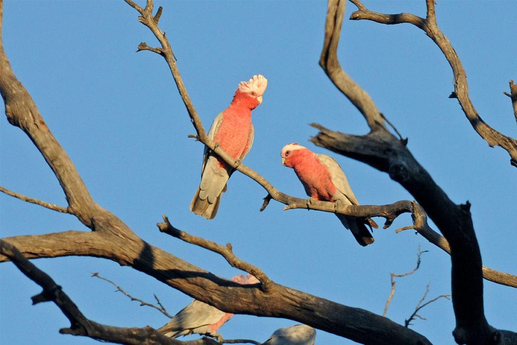 Birds of Eyre Peninsula - galahs