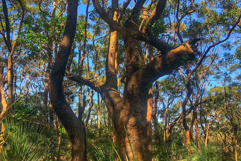 Sydney Red Gum in Royal National Park