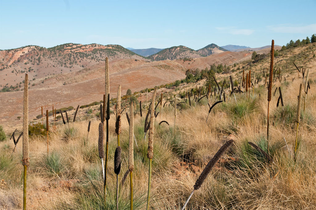 Grass trees in Flinders Ranges