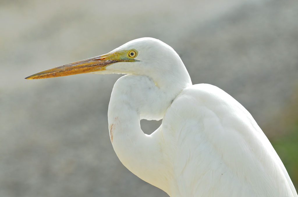 Great egret on Eyre peninsula