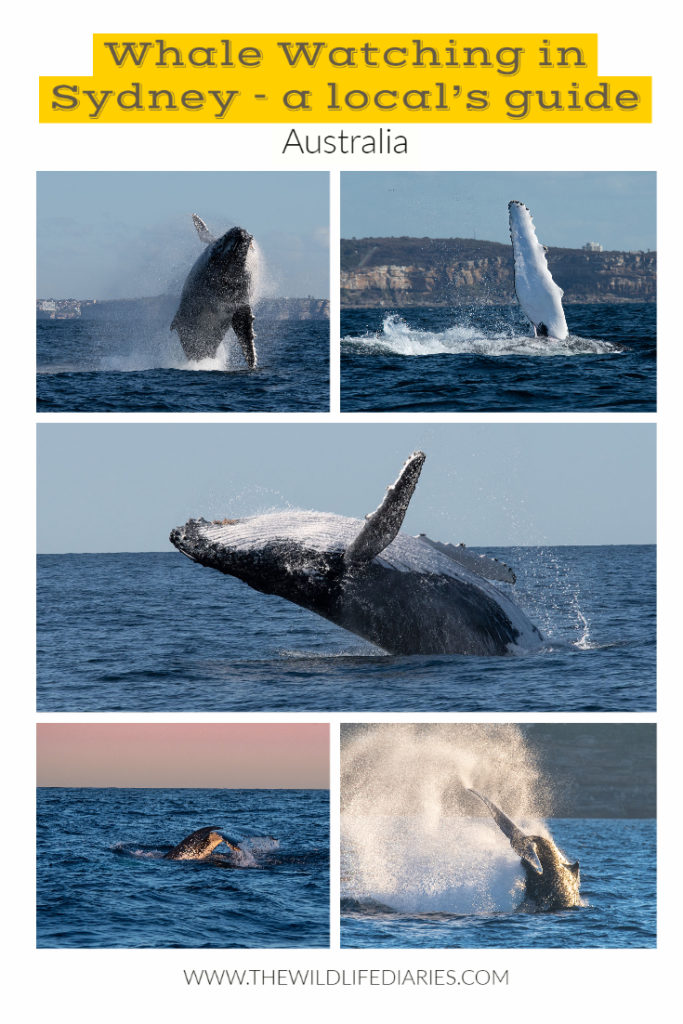 Whale watching in Sydney - a local's guide to the epic wildlife spectacle