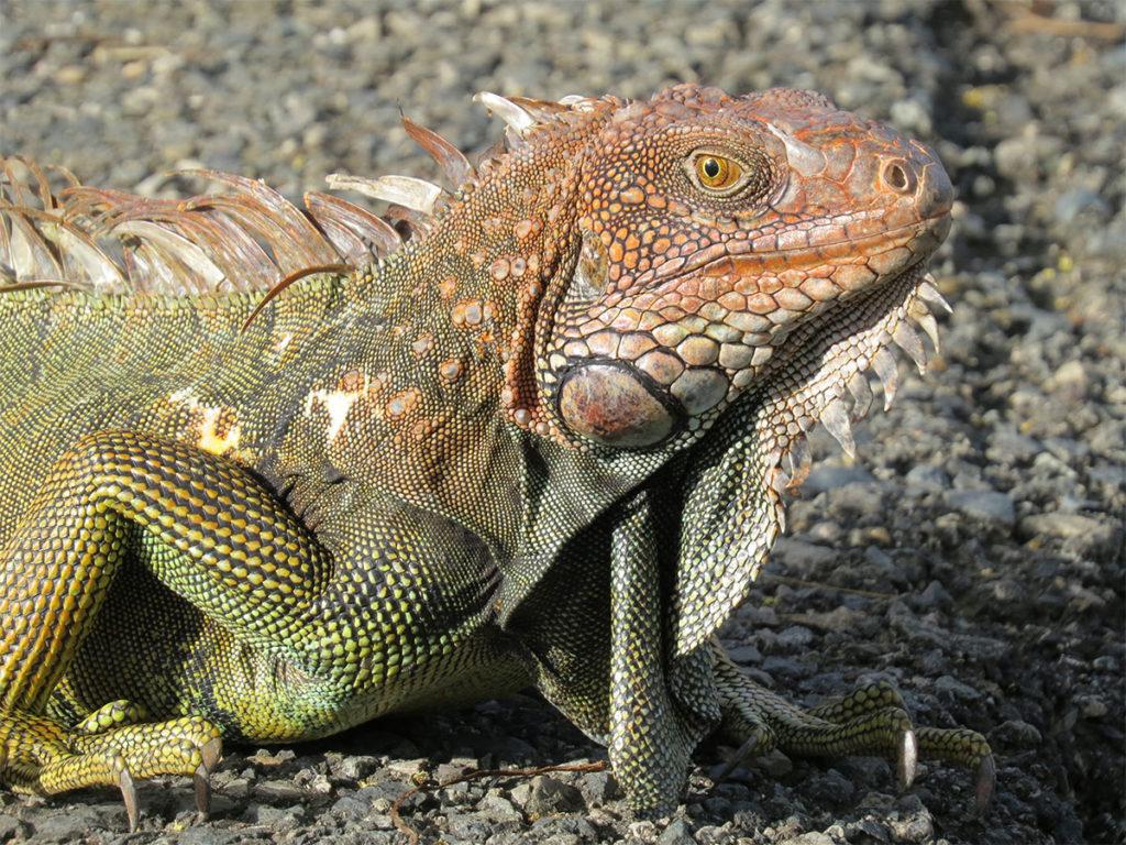 Manuel antonio wildlife - Iguana
