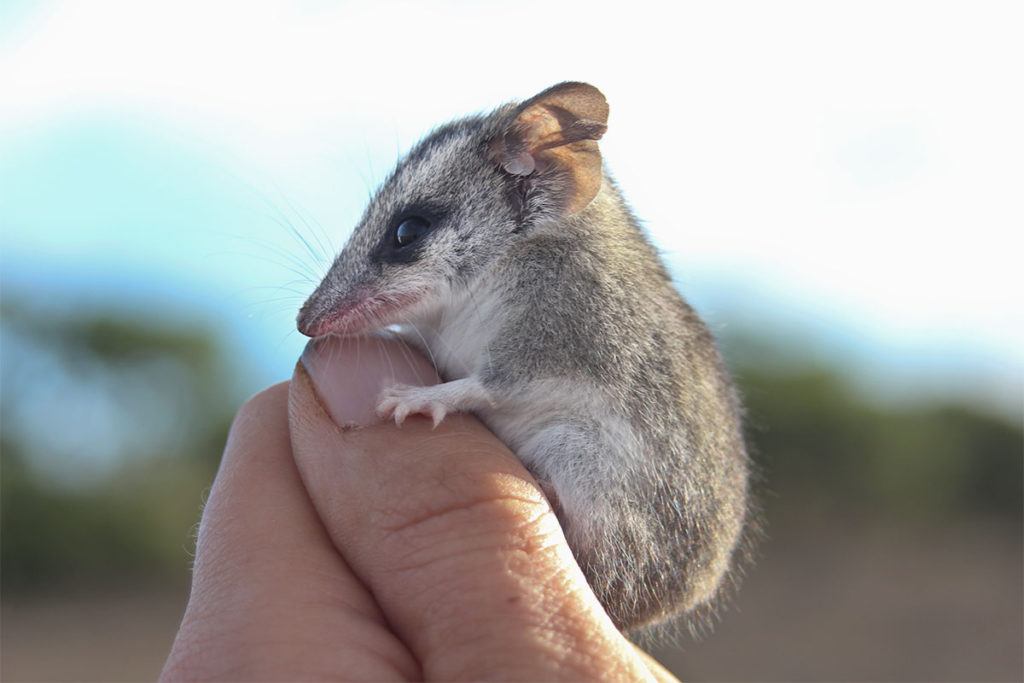 small mammals of flinders ranges - long-tailed dunnart