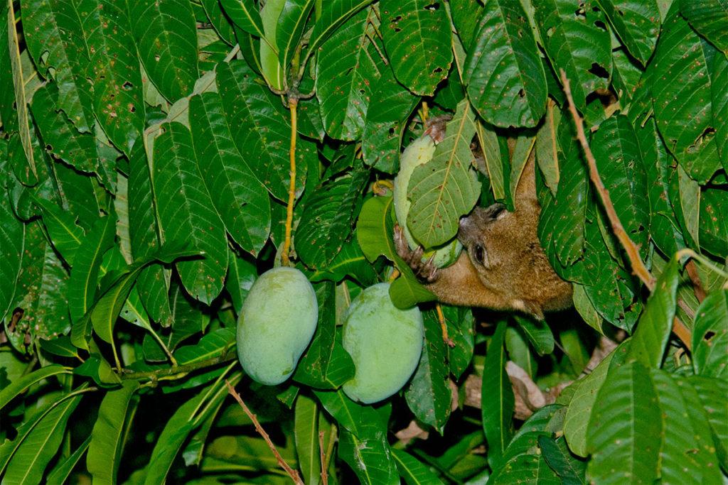 Kinkajou - manuel antonio wildlife