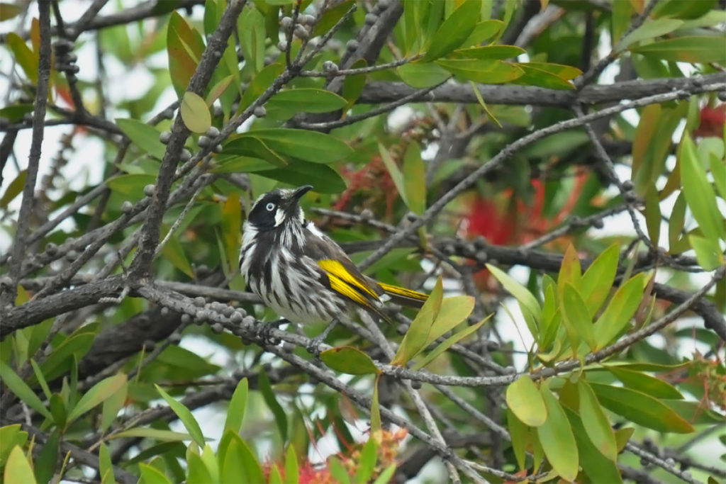 Newh Holland honeyeater along Palm Jungle loop track