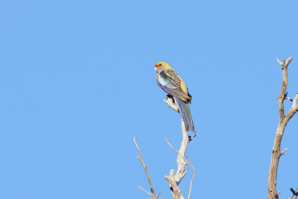 Birds of Flinders Ranges - Orange Crimson rosella