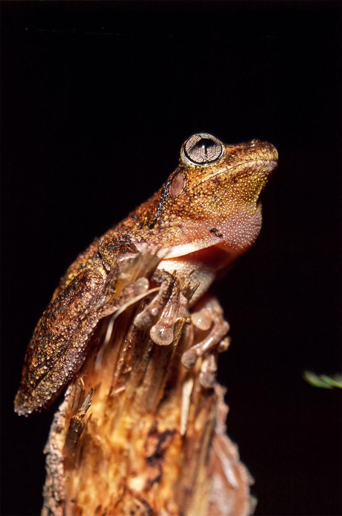 Wildlife of Watagan mountains - Perron's tree frog