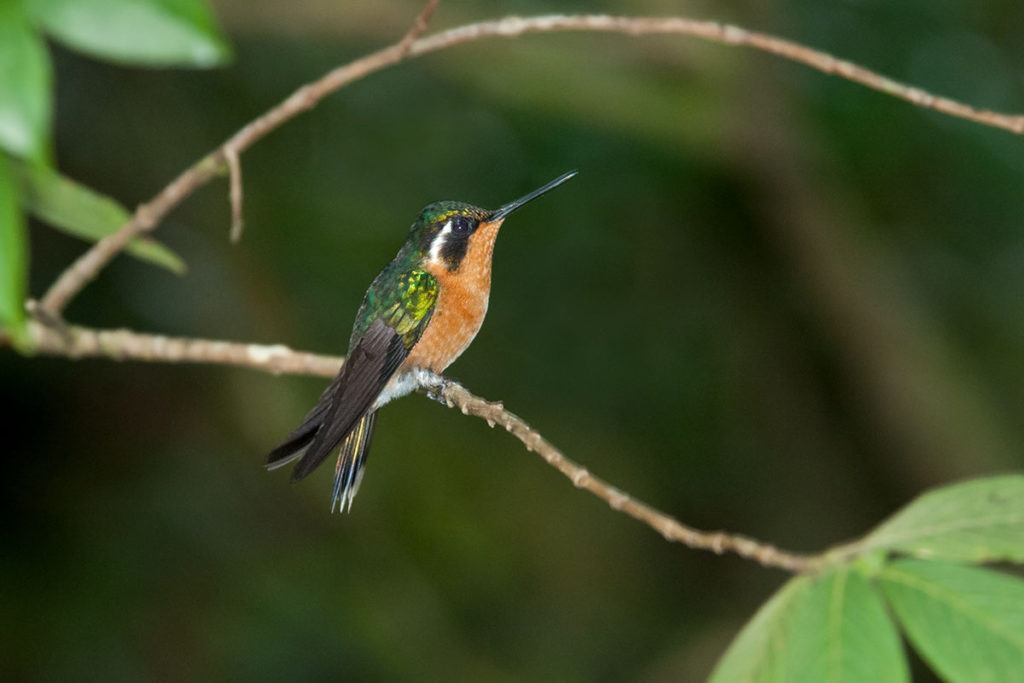 Purple-throated mountain gem in Monteverde