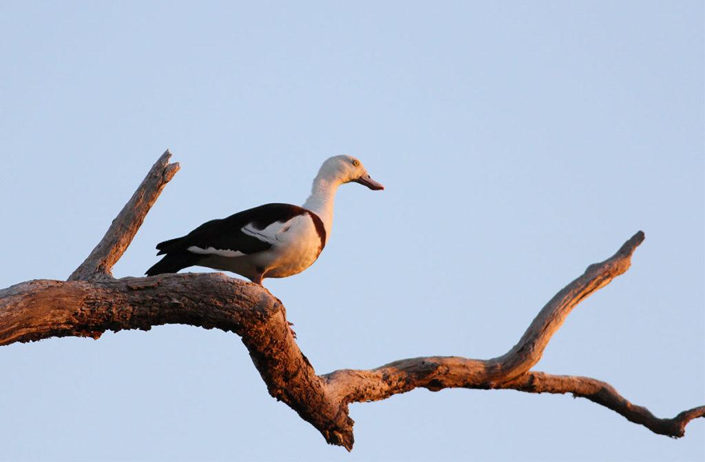 kakadu birds - Raja duck