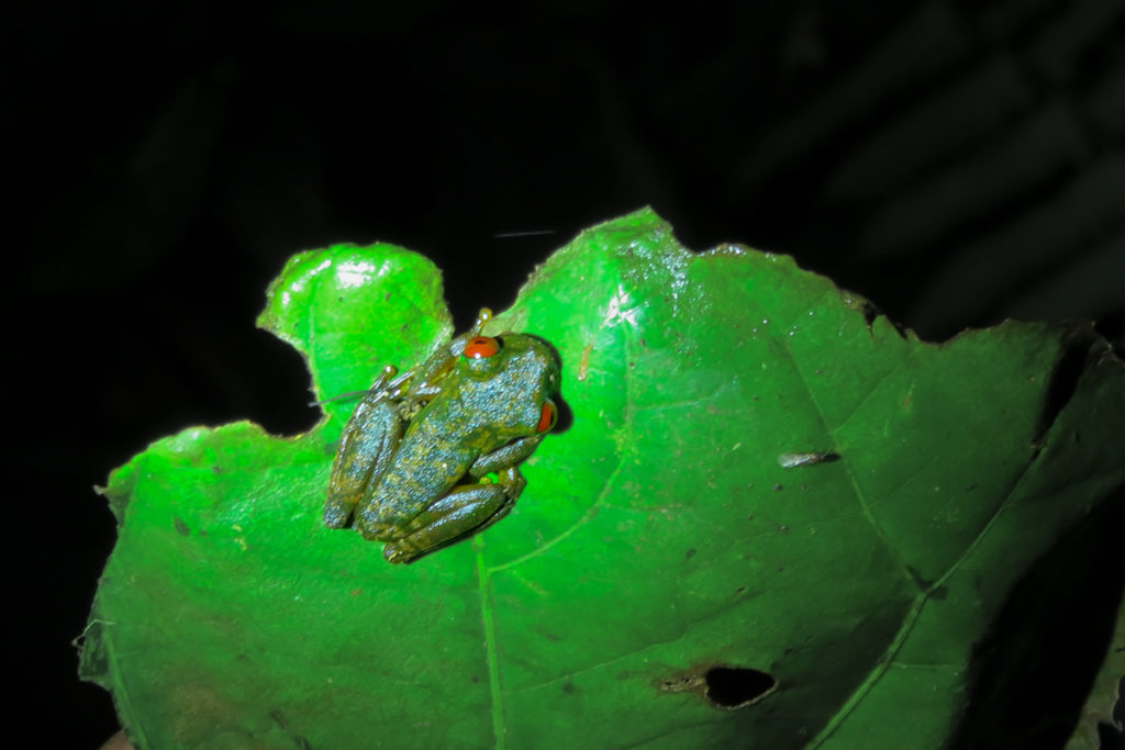 Red-eyed streem frog in Monteverde Cloud forest