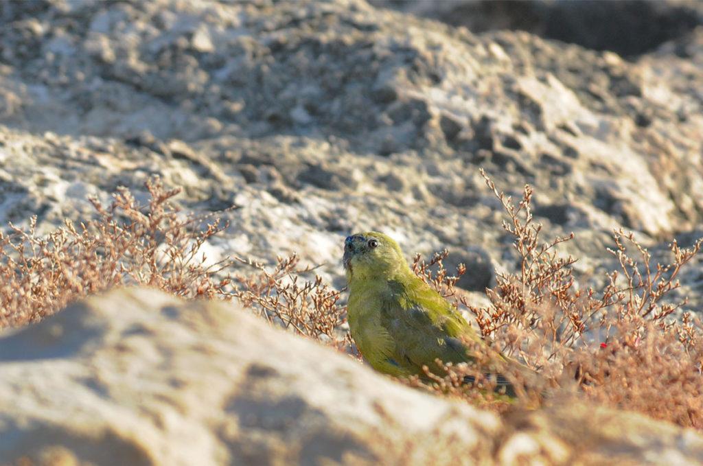 Wildlife of Eyre Peninsular - rock parrot