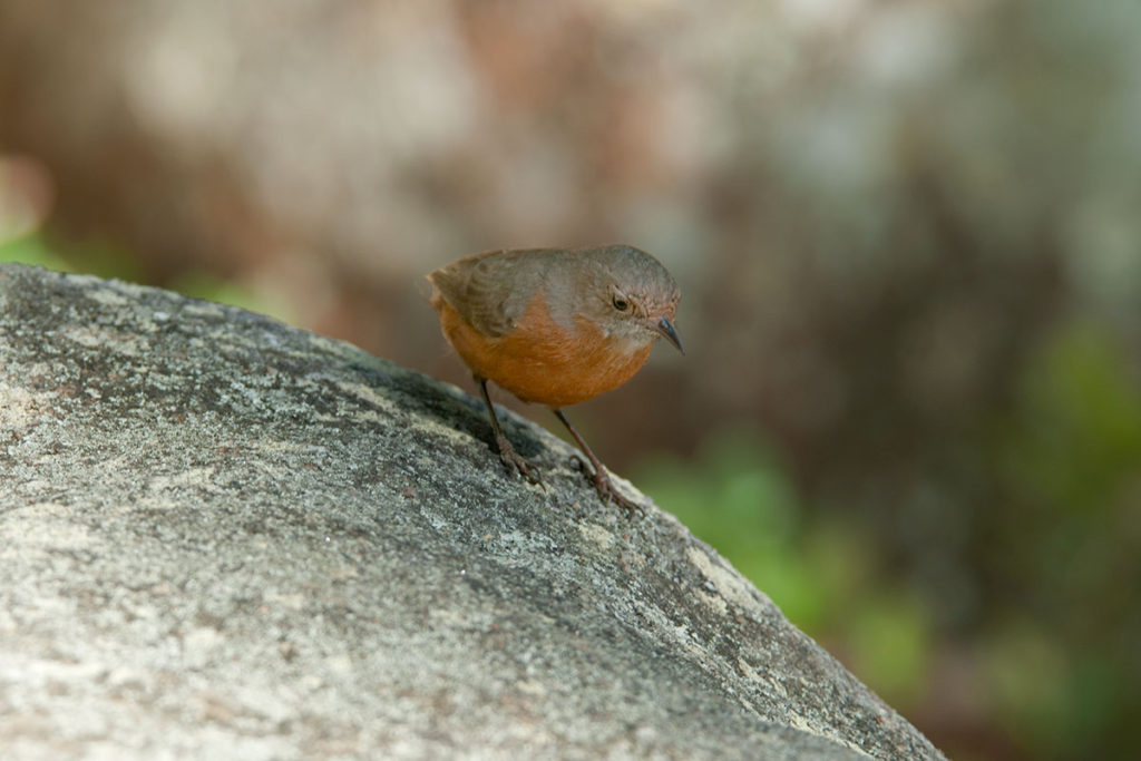 Rock warbler in Royal National Park