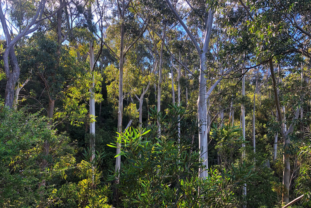 Tall eucalypt trees along Prince Henry Cliff Walk