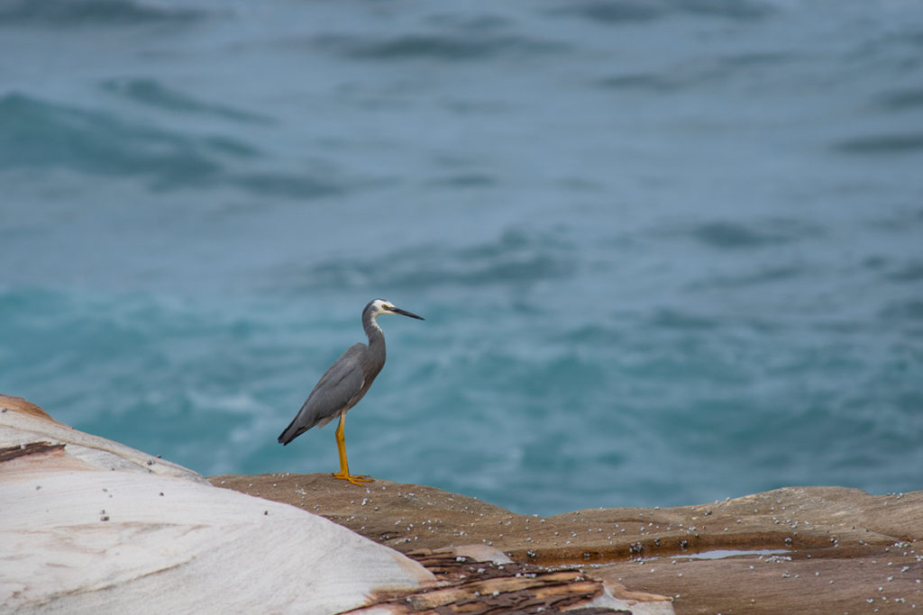 White-faced heron between Marley and little Marley beaches
