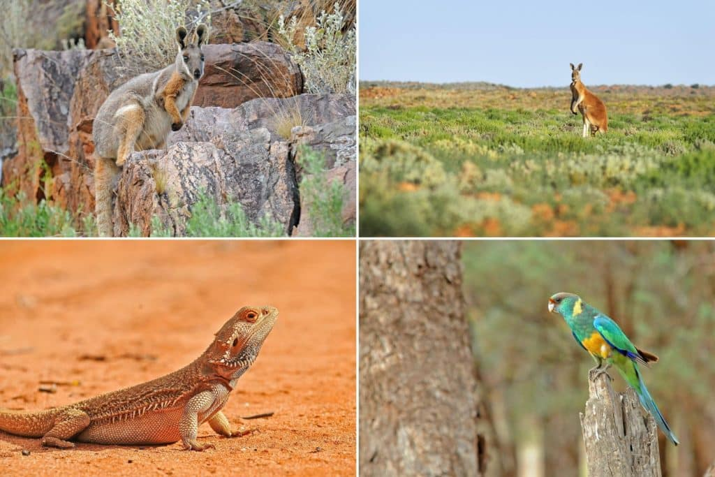 Wildlife of Flinders Ranges