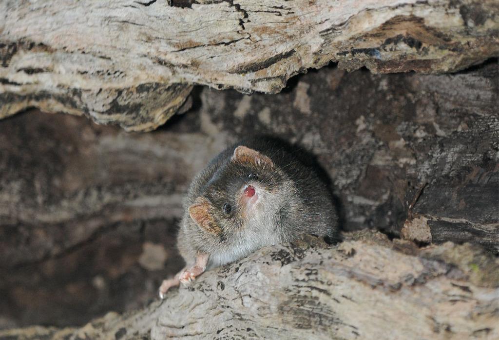 Wildlife of Watagans - Antichinus