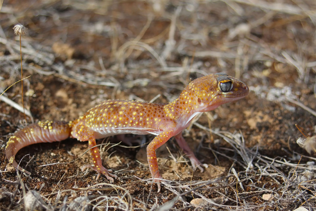 reptiles of flinders - barking gecko