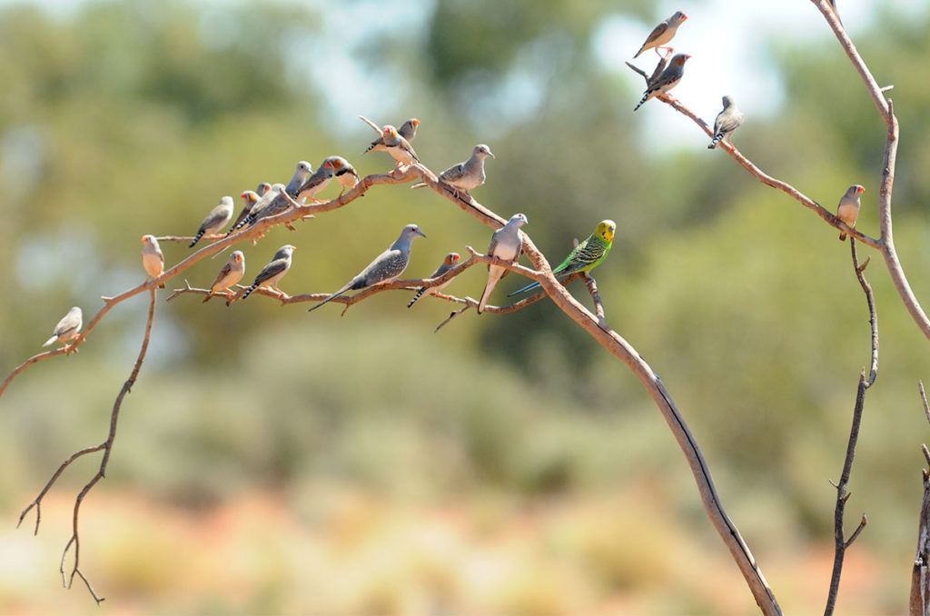 Budgies, zebra finches and diamond doves at a watering hole