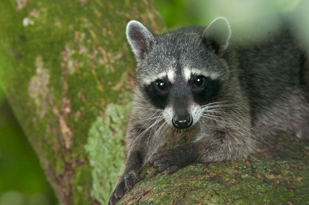 crab-eating raccoon in Manuel Antonio