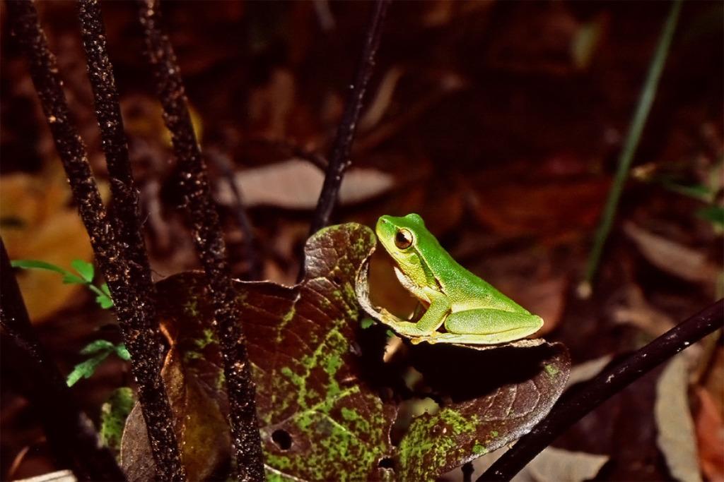 Eastern dwarf tree frog in Watagans