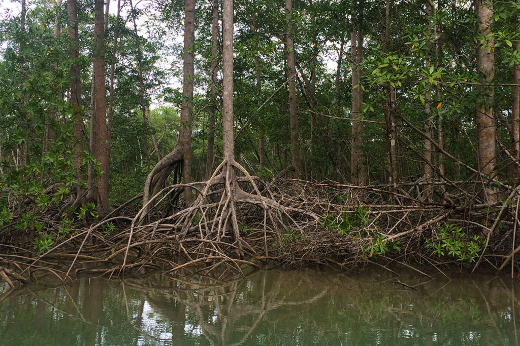 mangroves between sierpe and drake bay