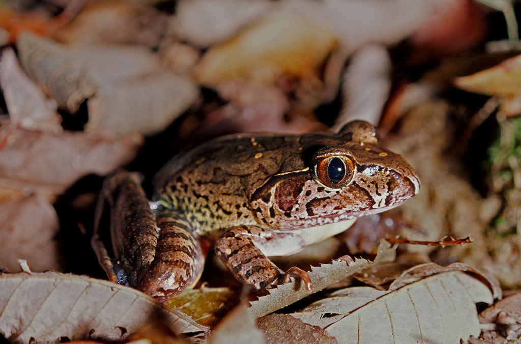 Wildlife of Watagans mountains - Giant barred frog