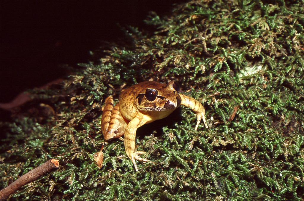 Stuttering frog in Watagan Mountains