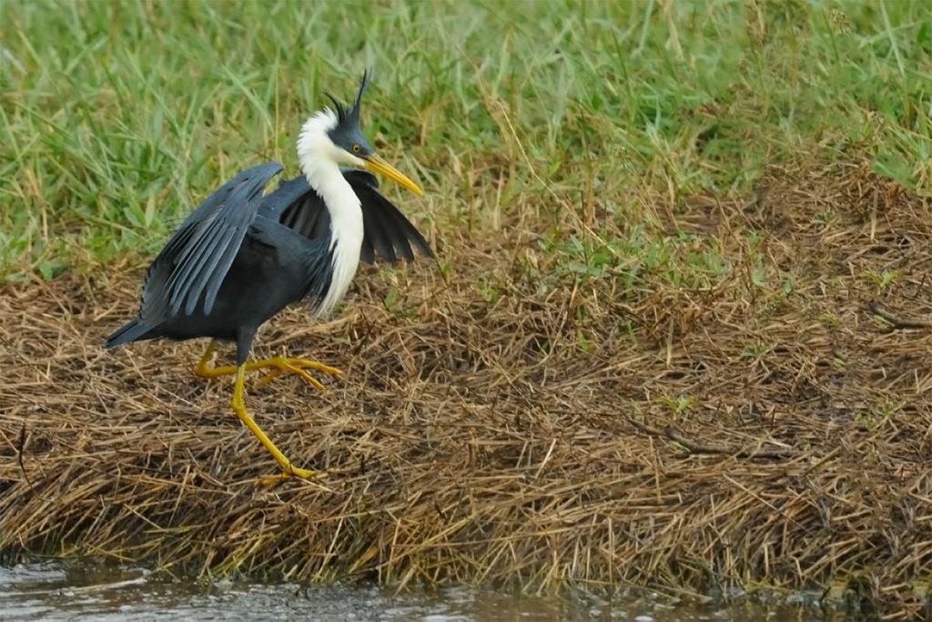 Kakadu animals - Pied heron