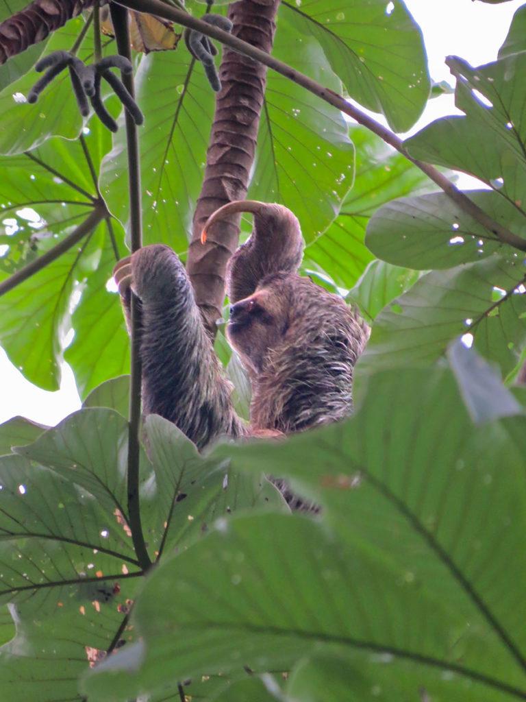 Three-toed sloth in Manuel Antonio