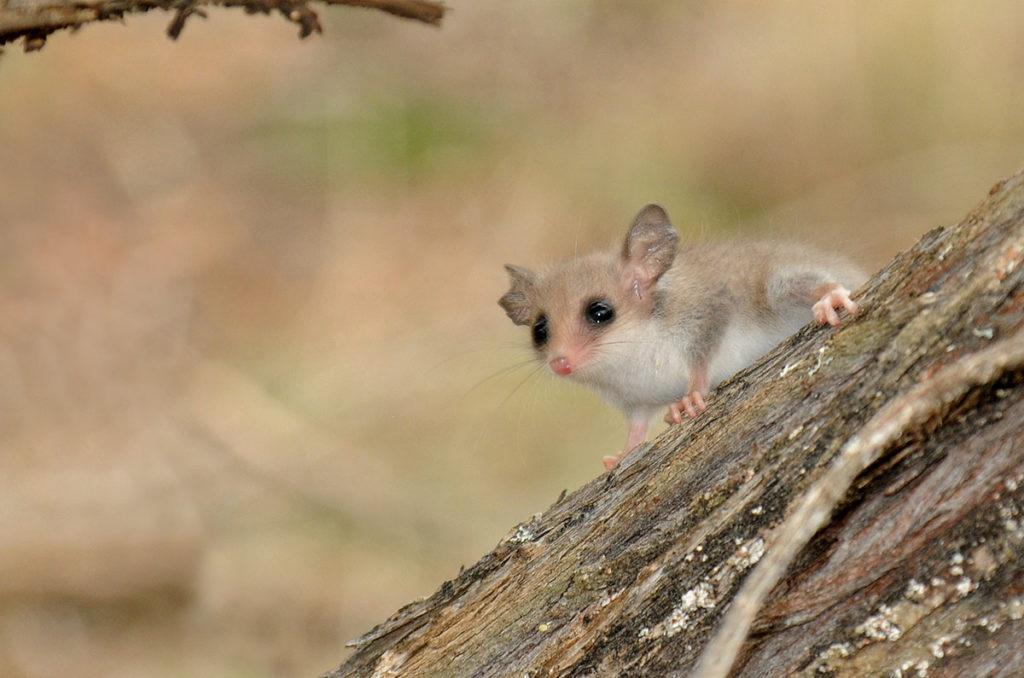 Wildlife of Eyre peninsula - Western pygmy possum